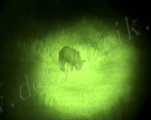 Кабан в свете зеленого подствольного фонаря